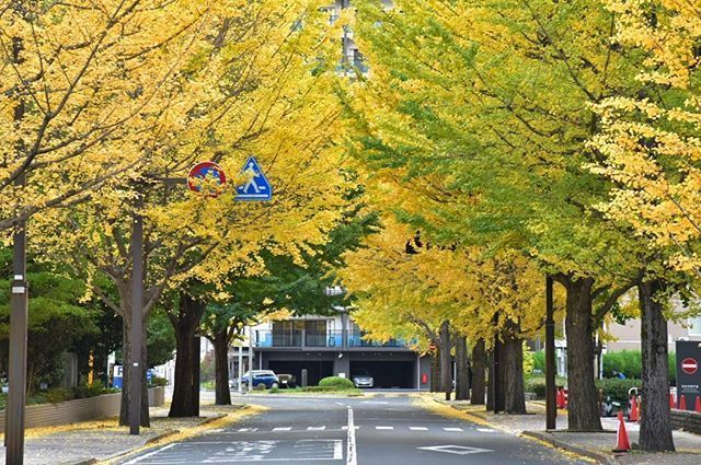 笑顔の架け橋Rainbowプロジェクト - いちょう並木 #japan #bestphoto_japan #beautifulview #art_of_japan_ #colors_of_day #japan_camera #fallcolors #ig_great_pics #lovers_nippon #loves_world...
